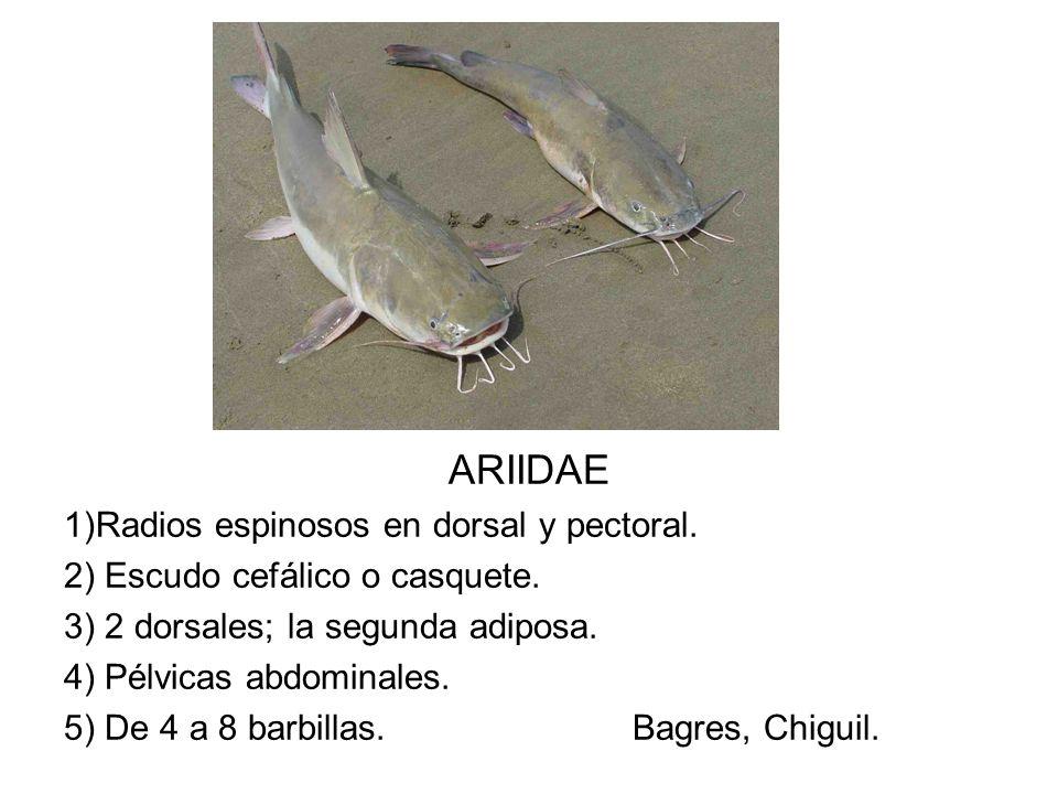 ARIIDAE 1)Radios espinosos en dorsal y pectoral. 2) Escudo cefálico o casquete. 3) 2 dorsales; la segunda adiposa. 4) Pélvicas abdominales. 5) De 4 a