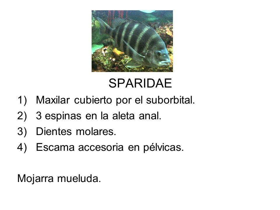 SPARIDAE 1)Maxilar cubierto por el suborbital. 2)3 espinas en la aleta anal. 3)Dientes molares. 4)Escama accesoria en pélvicas. Mojarra mueluda.