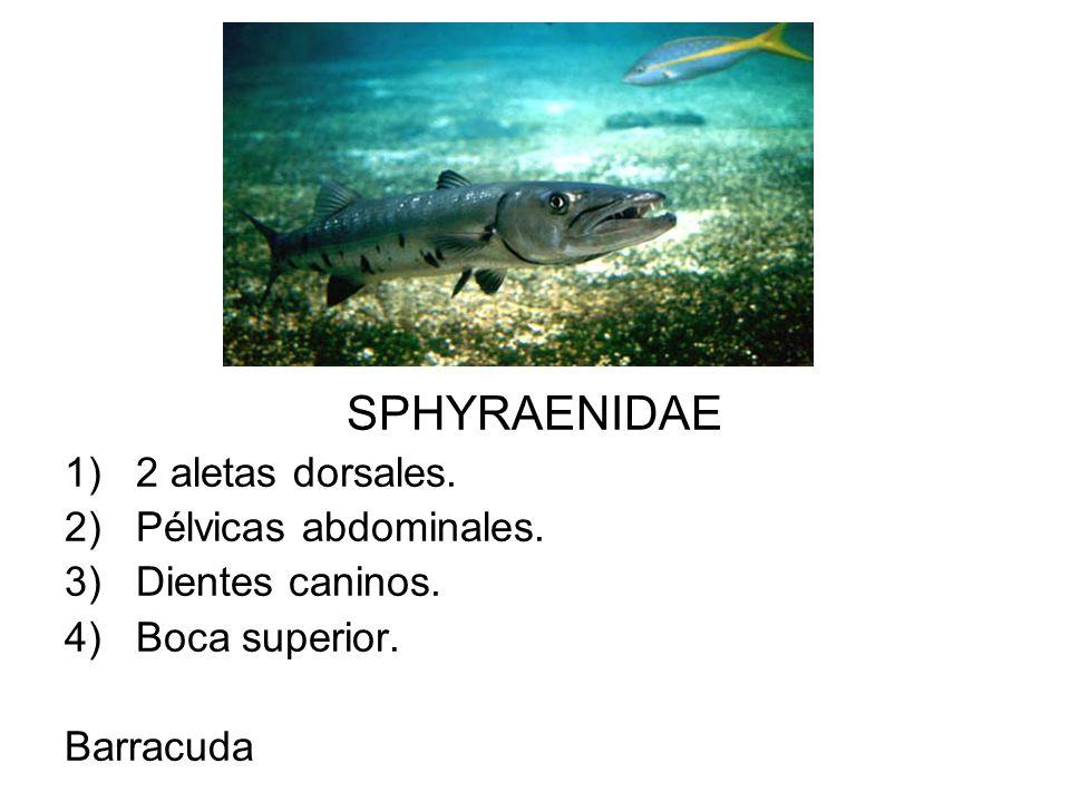SPHYRAENIDAE 1)2 aletas dorsales. 2)Pélvicas abdominales. 3)Dientes caninos. 4)Boca superior. Barracuda