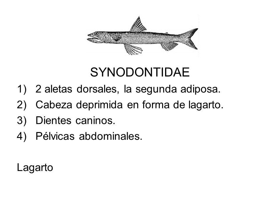 SYNODONTIDAE 1)2 aletas dorsales, la segunda adiposa. 2)Cabeza deprimida en forma de lagarto. 3)Dientes caninos. 4)Pélvicas abdominales. Lagarto