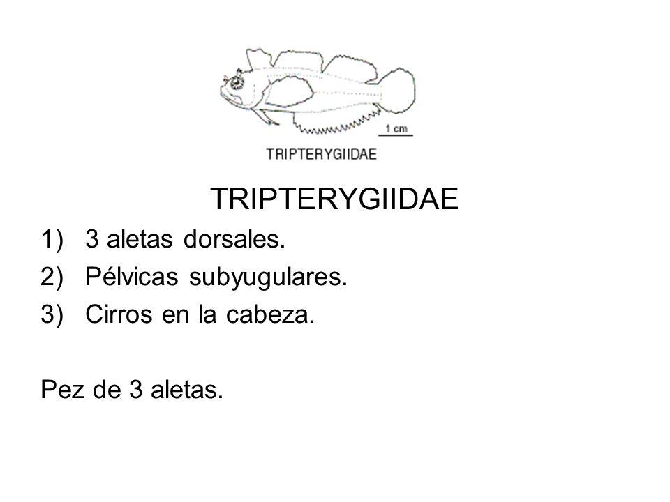 TRIPTERYGIIDAE 1)3 aletas dorsales. 2)Pélvicas subyugulares. 3)Cirros en la cabeza. Pez de 3 aletas.