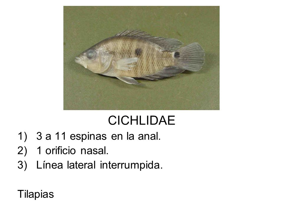 CICHLIDAE 1)3 a 11 espinas en la anal. 2)1 orificio nasal. 3)Línea lateral interrumpida. Tilapias