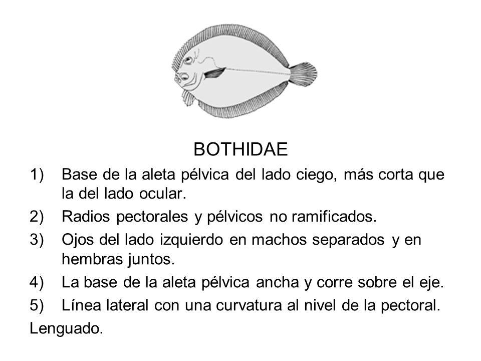 BOTHIDAE 1)Base de la aleta pélvica del lado ciego, más corta que la del lado ocular. 2)Radios pectorales y pélvicos no ramificados. 3)Ojos del lado i