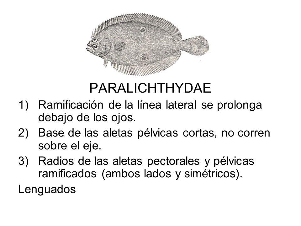 PARALICHTHYDAE 1)Ramificación de la línea lateral se prolonga debajo de los ojos. 2)Base de las aletas pélvicas cortas, no corren sobre el eje. 3)Radi