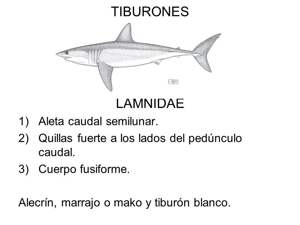 TIBURONES LAMNIDAE 1)Aleta caudal semilunar. 2)Quillas fuerte a los lados del pedúnculo caudal. 3)Cuerpo fusiforme. Alecrín, marrajo o mako y tiburón