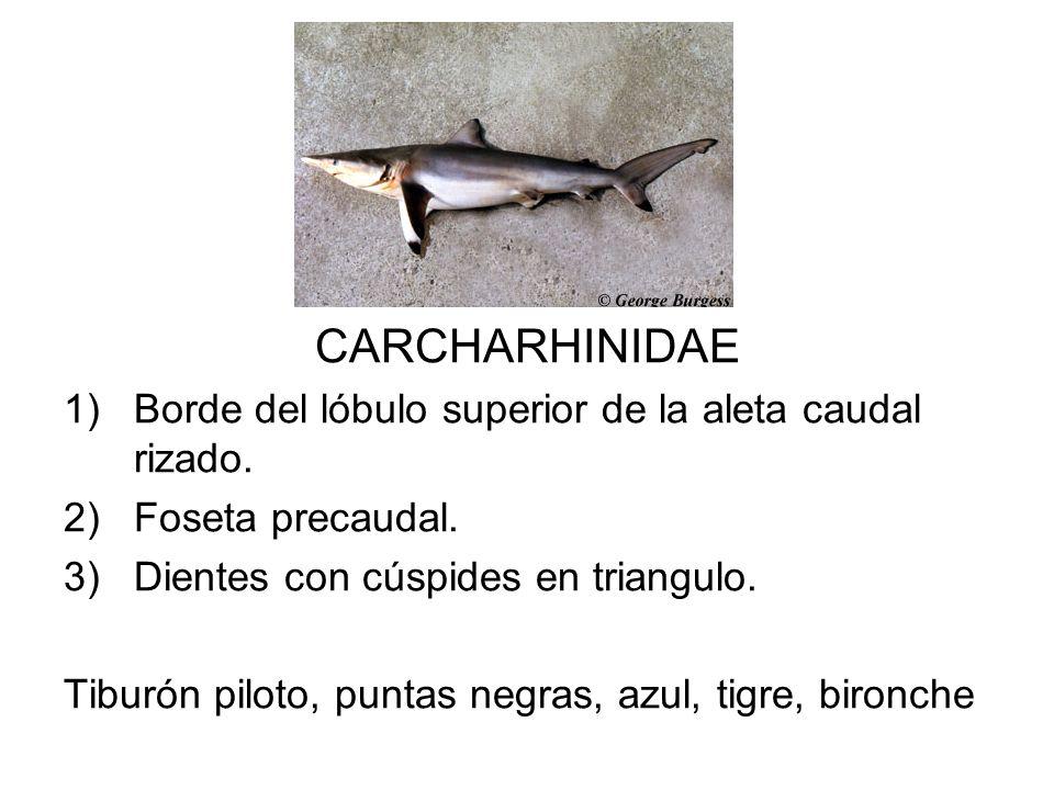 CARCHARHINIDAE 1)Borde del lóbulo superior de la aleta caudal rizado. 2)Foseta precaudal. 3)Dientes con cúspides en triangulo. Tiburón piloto, puntas