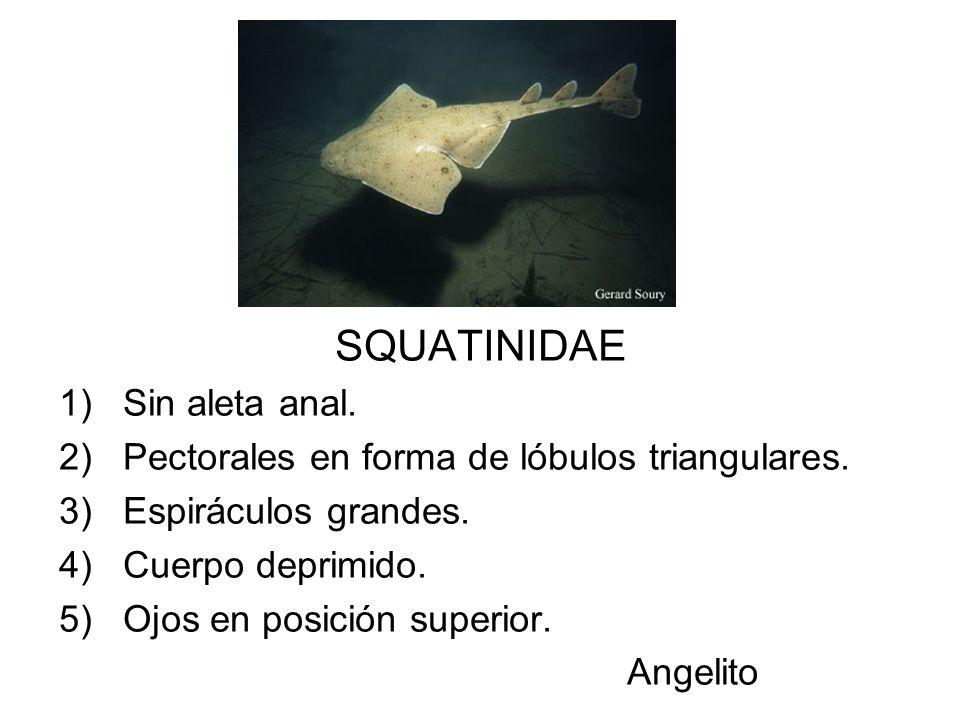 SQUATINIDAE 1)Sin aleta anal. 2)Pectorales en forma de lóbulos triangulares. 3)Espiráculos grandes. 4)Cuerpo deprimido. 5)Ojos en posición superior. A