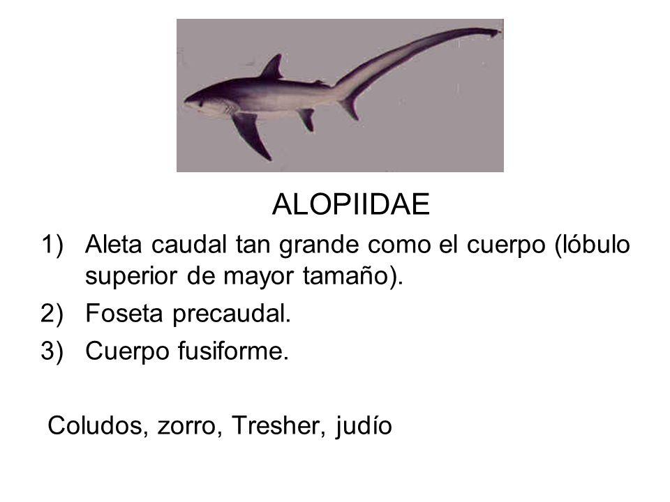 ALOPIIDAE 1)Aleta caudal tan grande como el cuerpo (lóbulo superior de mayor tamaño). 2)Foseta precaudal. 3)Cuerpo fusiforme. Coludos, zorro, Tresher,