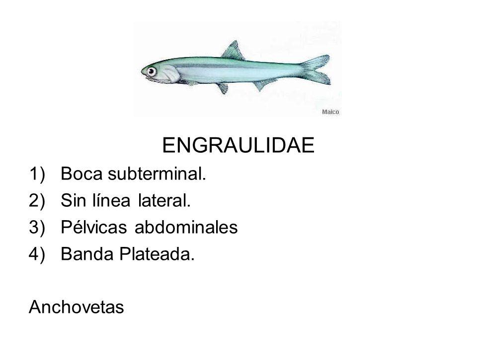 ENGRAULIDAE 1)Boca subterminal. 2)Sin línea lateral. 3)Pélvicas abdominales 4)Banda Plateada. Anchovetas