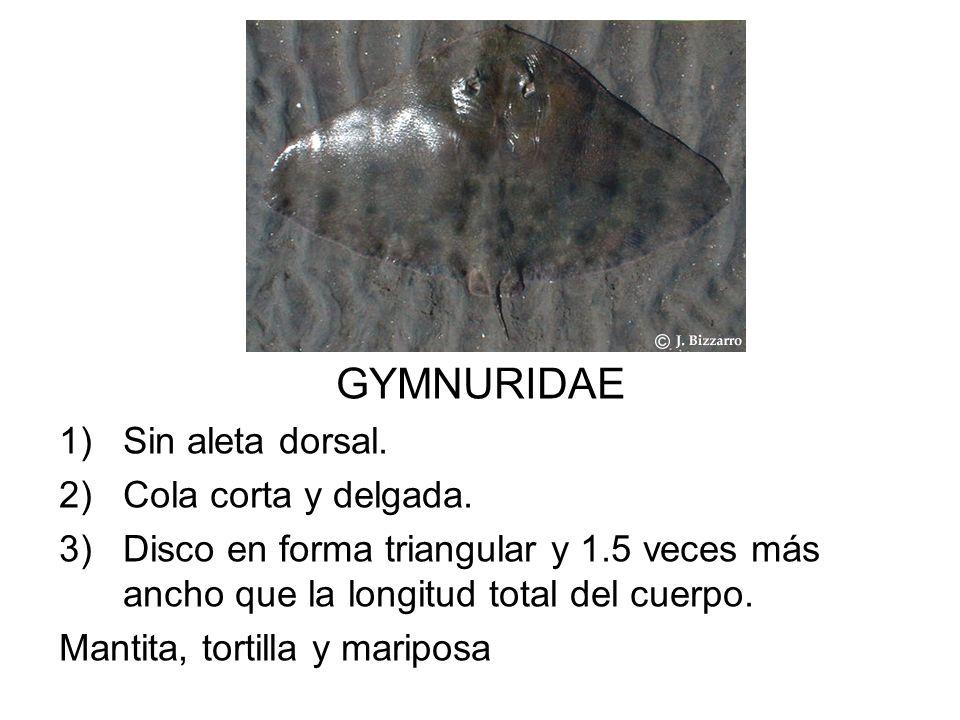 GYMNURIDAE 1)Sin aleta dorsal. 2)Cola corta y delgada. 3)Disco en forma triangular y 1.5 veces más ancho que la longitud total del cuerpo. Mantita, to