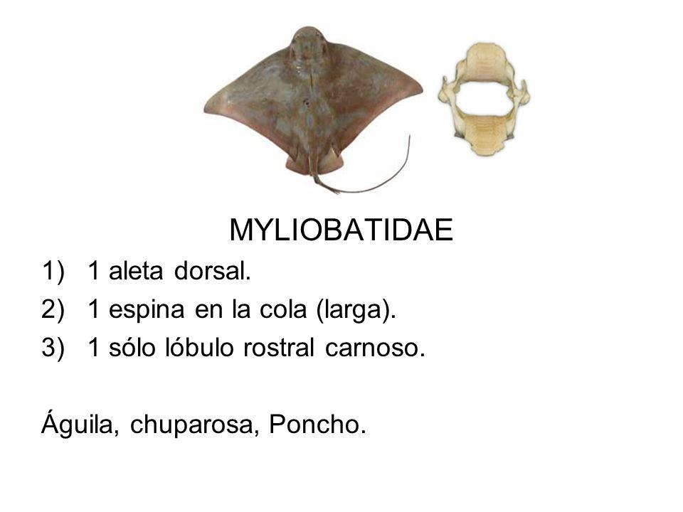 MYLIOBATIDAE 1)1 aleta dorsal. 2)1 espina en la cola (larga). 3)1 sólo lóbulo rostral carnoso. Águila, chuparosa, Poncho.