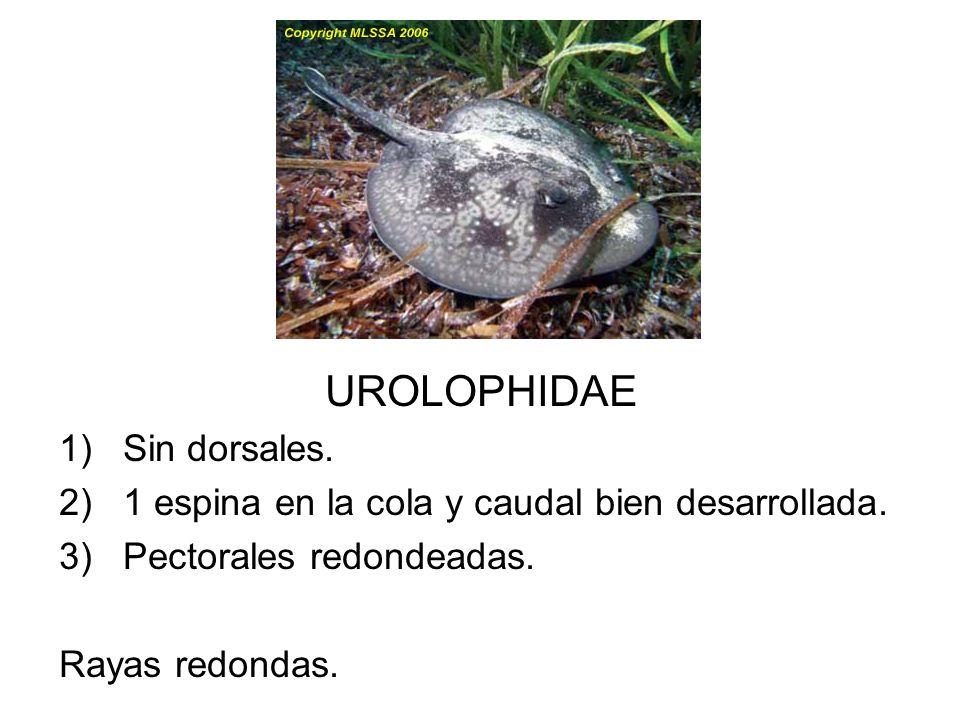 UROLOPHIDAE 1)Sin dorsales. 2)1 espina en la cola y caudal bien desarrollada. 3)Pectorales redondeadas. Rayas redondas.
