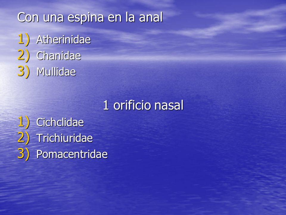 Con una espina en la anal 1) Atherinidae 2) Chanidae 3) Mullidae 1 orificio nasal 1) Cichclidae 2) Trichiuridae 3) Pomacentridae