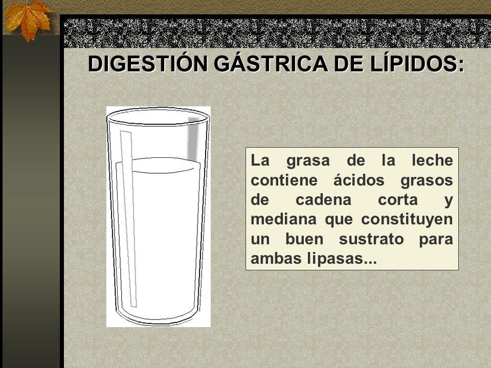 DIGESTIÓN GÁSTRICA DE LÍPIDOS: La grasa de la leche contiene ácidos grasos de cadena corta y mediana que constituyen un buen sustrato para ambas lipas