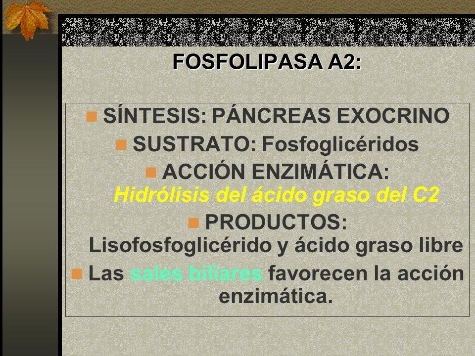 FOSFOLIPASA A2: SÍNTESIS: PÁNCREAS EXOCRINO SUSTRATO: Fosfoglicéridos ACCIÓN ENZIMÁTICA: Hidrólisis del ácido graso del C2 PRODUCTOS: Lisofosfoglicéri