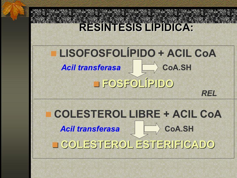 RESÍNTESIS LIPÍDICA: LISOFOSFOLÍPIDO + ACIL CoA FOSFOLÍPIDO FOSFOLÍPIDO COLESTEROL LIBRE + ACIL CoA COLESTEROL ESTERIFICADO COLESTEROL ESTERIFICADO Ac