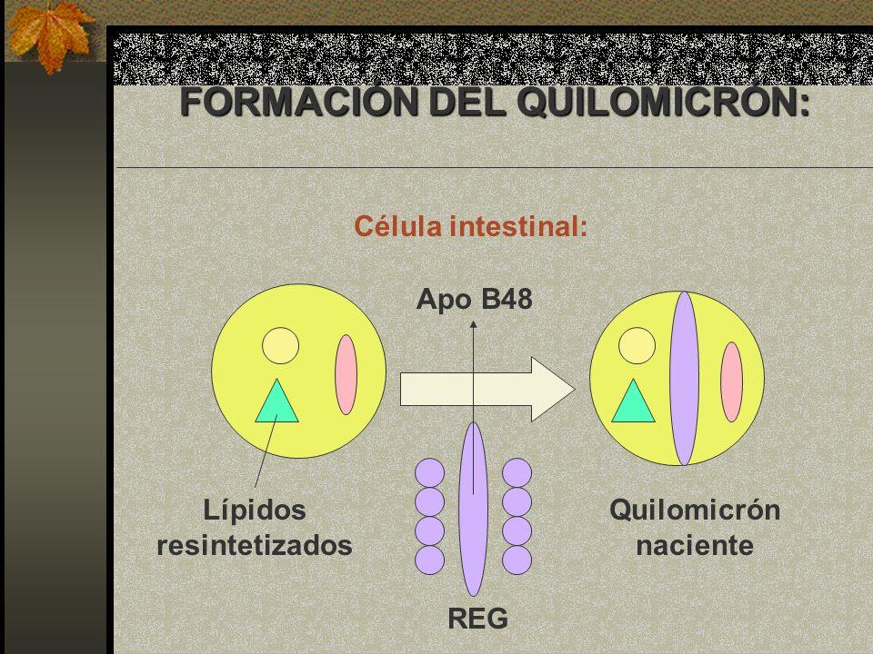 Apo B48 Quilomicrón naciente Lípidos resintetizados REG FORMACIÓN DEL QUILOMICRÓN: FORMACIÓN DEL QUILOMICRÓN: Célula intestinal: