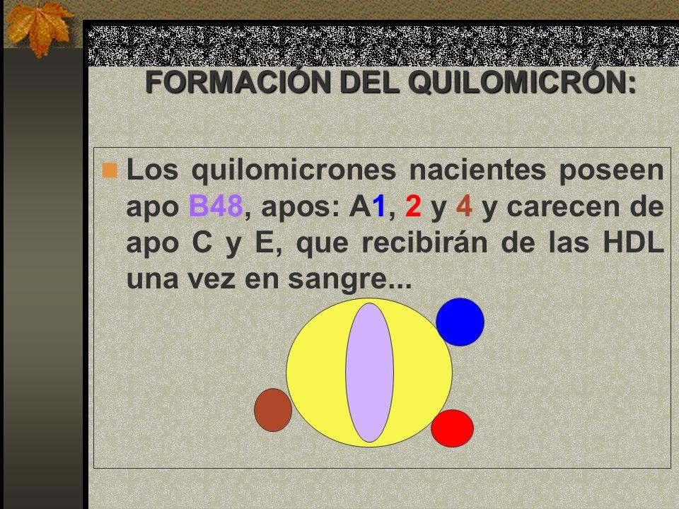 FORMACIÓN DEL QUILOMICRÓN: Los quilomicrones nacientes poseen apo B48, apos: A1, 2 y 4 y carecen de apo C y E, que recibirán de las HDL una vez en san