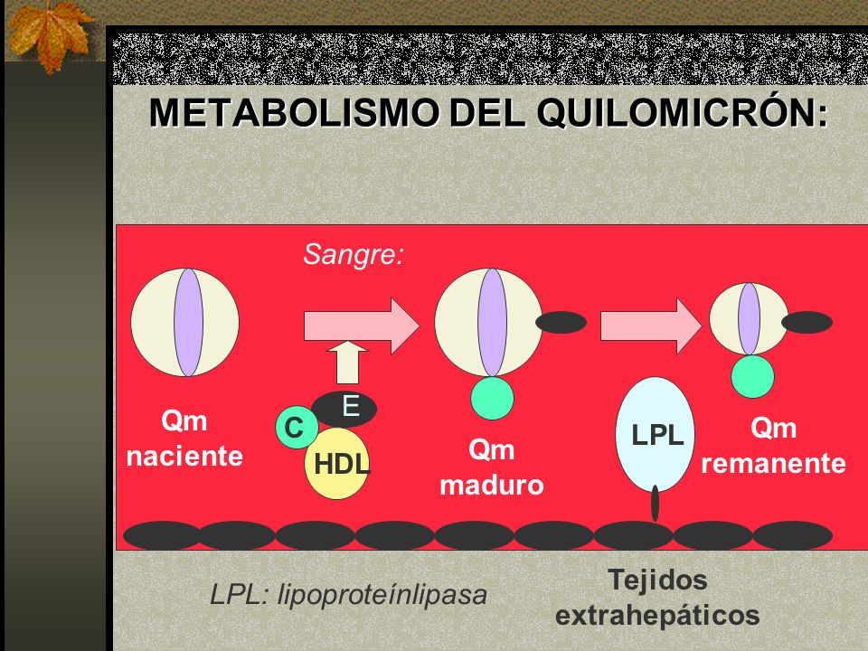 METABOLISMO DEL QUILOMICRÓN: LPL HDL C E Qm naciente Qm maduro Qm remanente Tejidos extrahepáticos Sangre: LPL: lipoproteínlipasa