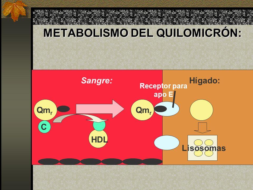 METABOLISMO DEL QUILOMICRÓN: HDL C Hígado: Qm r Lisosomas Qm r Receptor para apo E Sangre: