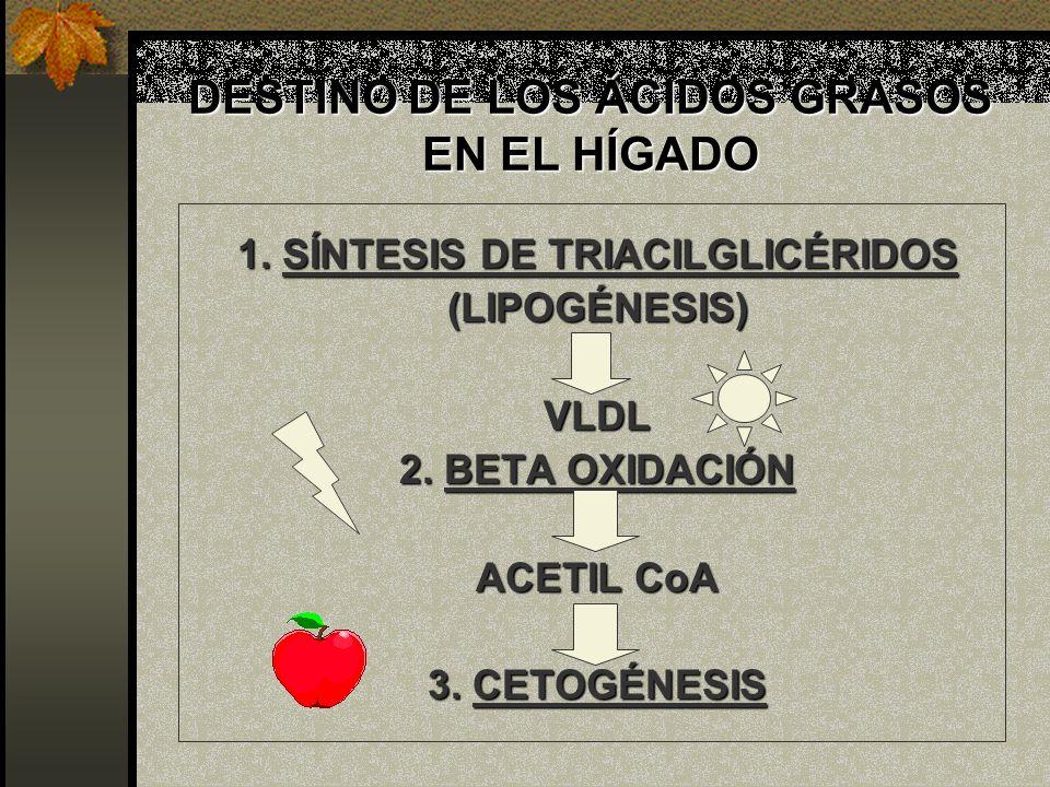 DESTINO DE LOS ÁCIDOS GRASOS EN EL HÍGADO 1. SÍNTESIS DE TRIACILGLICÉRIDOS (LIPOGÉNESIS)VLDL 2. BETA OXIDACIÓN ACETIL CoA 3. CETOGÉNESIS