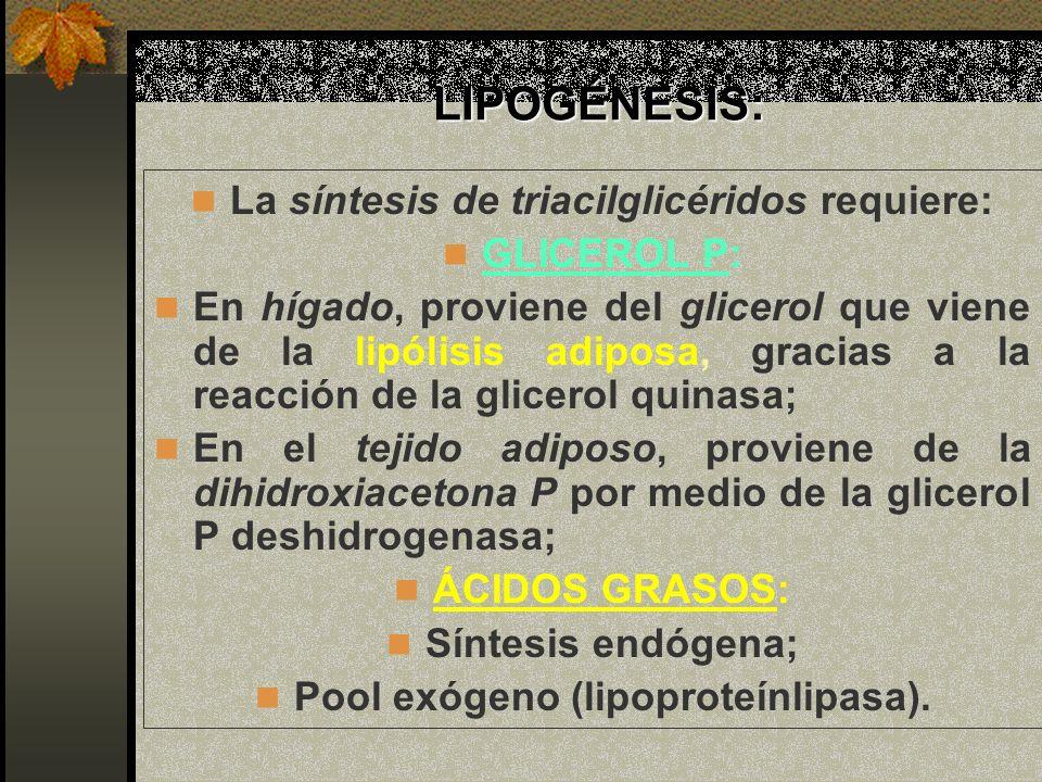 LIPOGÉNESIS: LIPOGÉNESIS: La síntesis de triacilglicéridos requiere: GLICEROL P: En hígado, proviene del glicerol que viene de la lipólisis adiposa, g
