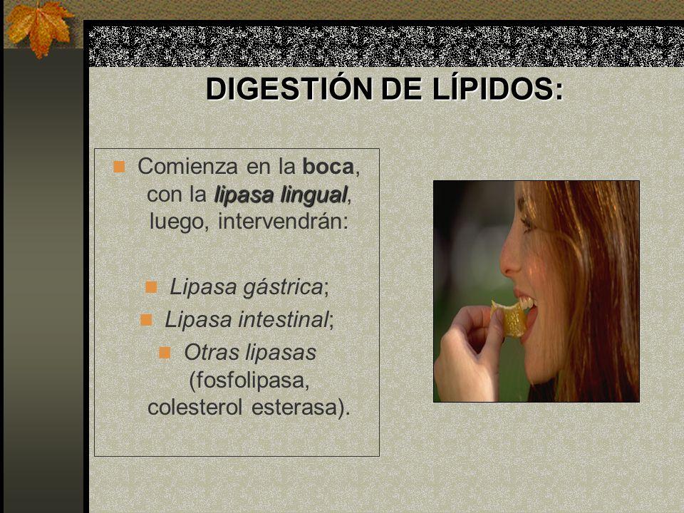 DIGESTIÓN DE LÍPIDOS: LIPASA LINGUAL: LIPASA LINGUAL: SÍNTESIS: Glándulas de von Ebner; SUSTRATO: Triacilglicéridos esterificados con ácidos grasos de cadena corta ACCIÓN ENZIMÁTICA: Hidrólisis del ácido graso de C3 PRODUCTOS: 1-2 diacilglicérido y un ácido graso libre pH ÓPTIMO: 3 a 6