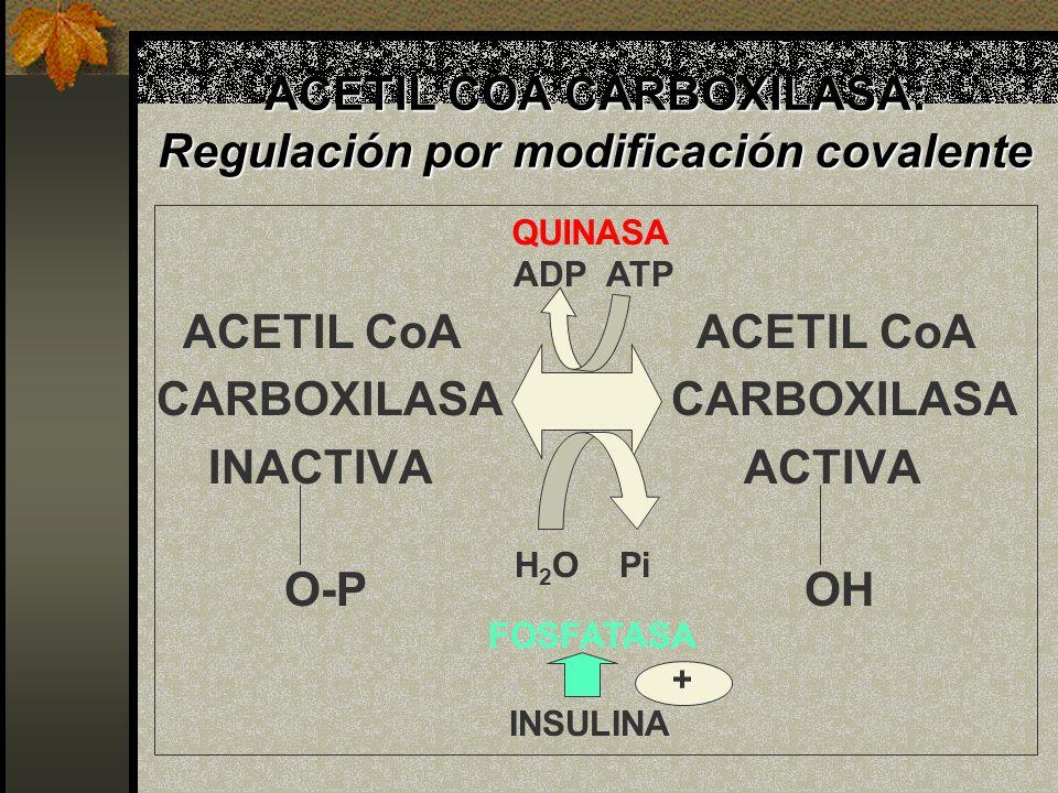 ACETIL COA CARBOXILASA: Regulación por modificación covalente ACETIL CoA ACETIL CoA CARBOXILASA INACTIVA ACTIVA O-POH H 2 O Pi ADP ATP FOSFATASA QUINA