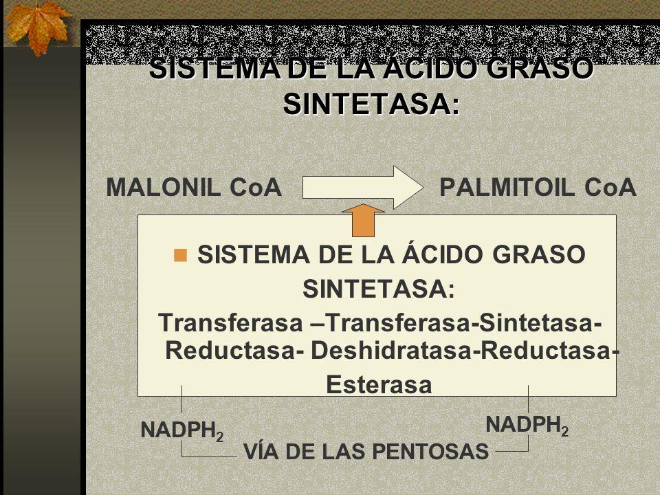 SISTEMA DE LA ÁCIDO GRASO SINTETASA: MALONIL CoA PALMITOIL CoA SISTEMA DE LA ÁCIDO GRASO SINTETASA: Transferasa –Transferasa-Sintetasa- Reductasa- Des