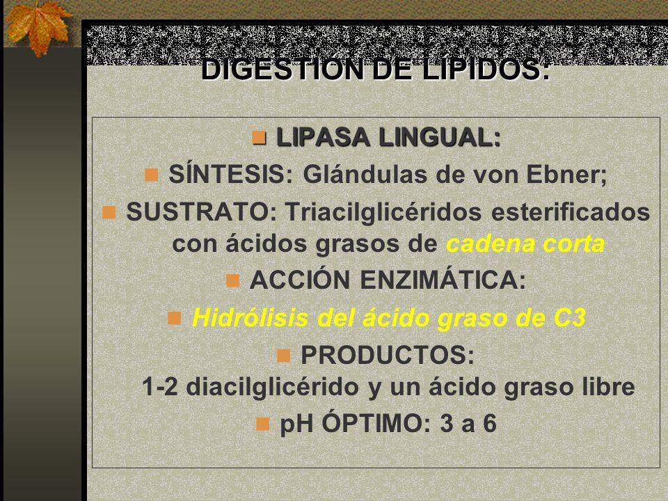 DIGESTIÓN DE LÍPIDOS: LIPASA LINGUAL: LIPASA LINGUAL: SÍNTESIS: Glándulas de von Ebner; SUSTRATO: Triacilglicéridos esterificados con ácidos grasos de