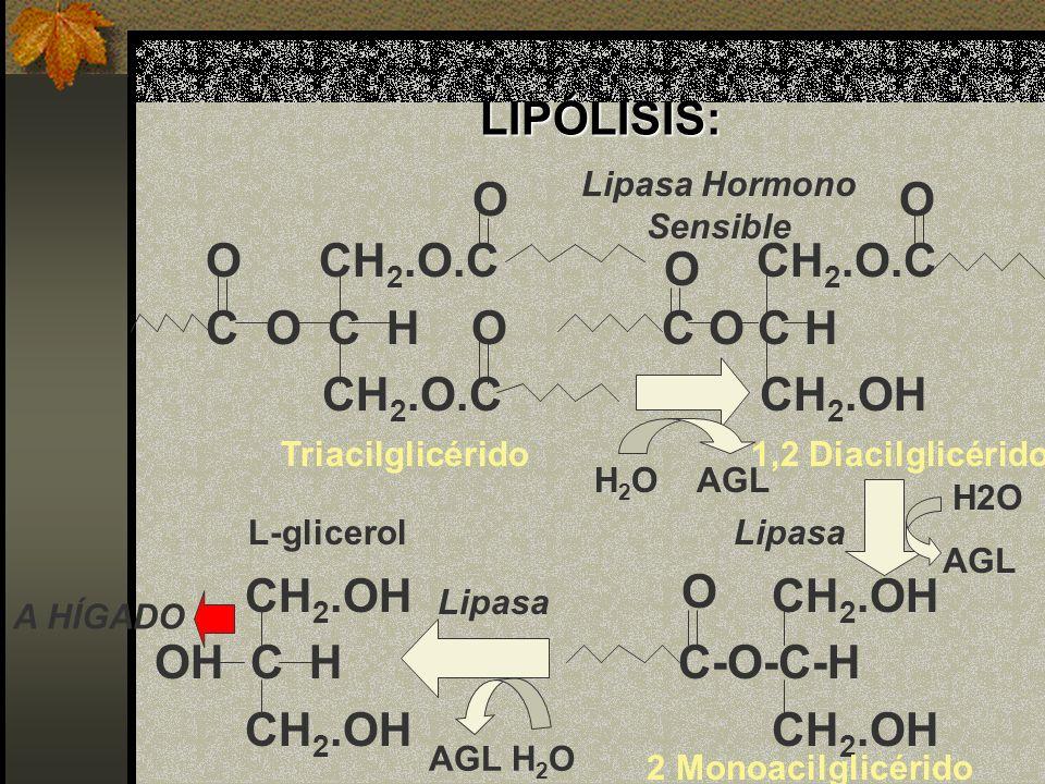LIPÓLISIS: O CH 2.O.C CH 2.O.C C O C H O C O C H CH 2.O.C CH 2.OH CH 2.OH CH 2.OH OH C H C-O-C-H CH 2.OH CH 2.OH OO O Triacilglicérido1,2 Diacilglicér