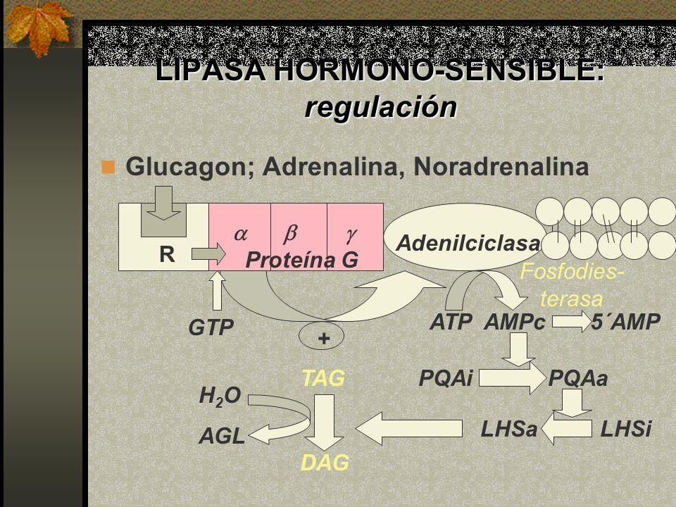 LIPASA HORMONO-SENSIBLE: regulación Glucagon; Adrenalina, Noradrenalina ATP AMPc 5´AMP PQAi PQAa LHSa LHSi Proteína G Adenilciclasa TAG DAG H 2 O AGL