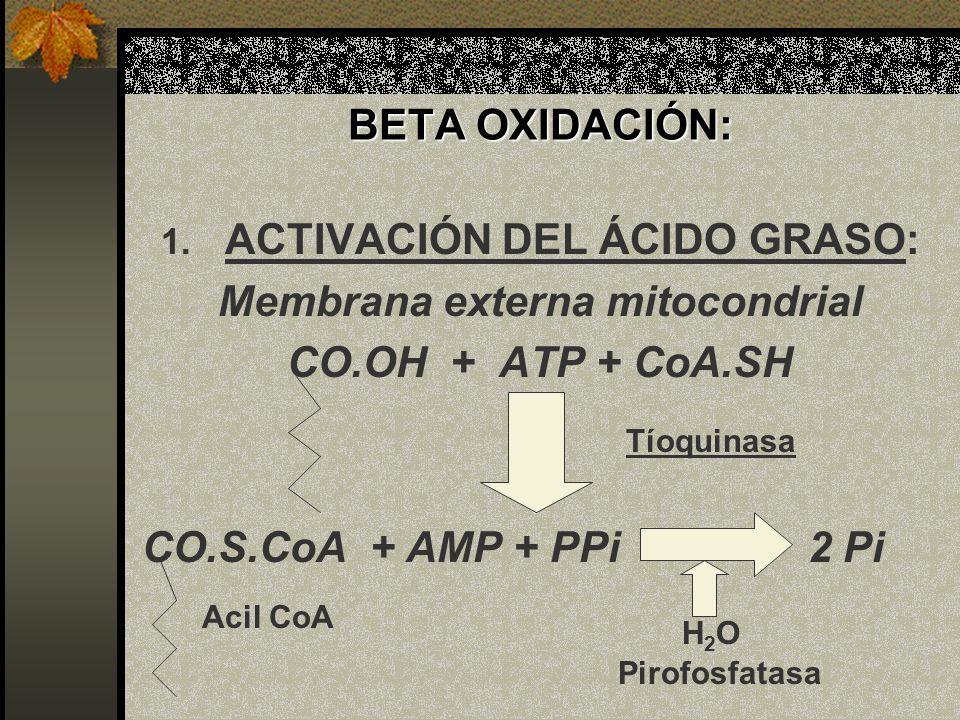 BETA OXIDACIÓN: 1. ACTIVACIÓN DEL ÁCIDO GRASO: Membrana externa mitocondrial CO.OH + ATP + CoA.SH CO.S.CoA + AMP + PPi 2 Pi Tíoquinasa H2OH2O Acil CoA