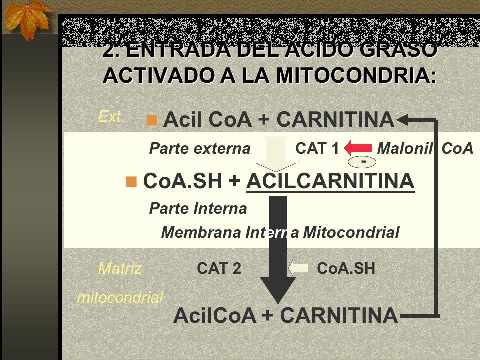 2. ENTRADA DEL ÁCIDO GRASO ACTIVADO A LA MITOCONDRIA: Acil CoA + CARNITINA CoA.SH + ACILCARNITINA AcilCoA + CARNITINA CoA.SH CAT 1 CAT 2Matriz mitocon