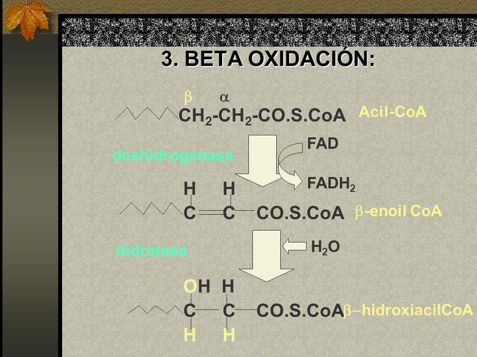3. BETA OXIDACIÓN: CH 2 -CH 2 -CO.S.CoA H H C C CO.S.CoA OH H C C CO.S.CoA H FAD FADH 2 H2OH2O -enoil CoA hidroxiacilCoA Acil-CoA deshidrogenasa hidra