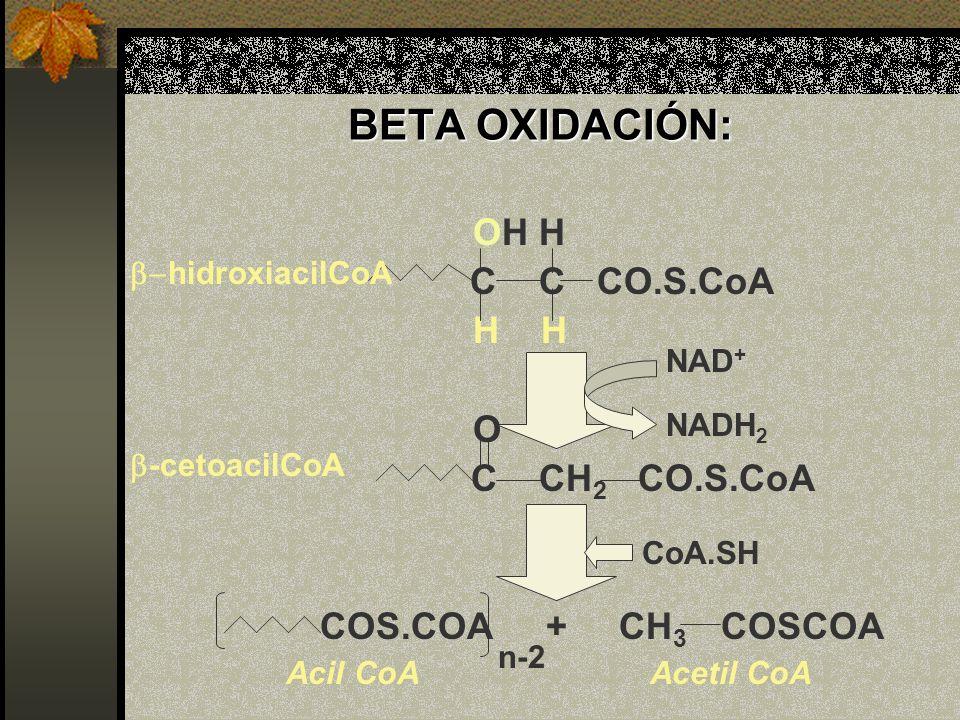 BETA OXIDACIÓN: OH H C C CO.S.CoA H O C CH 2 CO.S.CoA COS.COA + CH 3 COSCOA NAD + NADH 2 CoA.SH hidroxiacilCoA -cetoacilCoA n-2 Acetil CoA Acil CoA