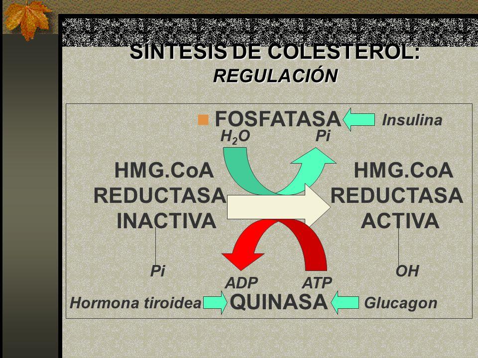 FOSFATASA HMG.CoA HMG.CoA REDUCTASA REDUCTASA INACTIVA ACTIVA H2OH2OPi ADP ATP QUINASA Pi OH SÍNTESIS DE COLESTEROL: REGULACIÓN Insulina GlucagonHormo