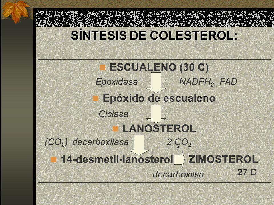 SÍNTESIS DE COLESTEROL: ESCUALENO (30 C) Epóxido de escualeno LANOSTEROL 14-desmetil-lanosterol ZIMOSTEROL Epoxidasa Ciclasa decarboxilasa decarboxils