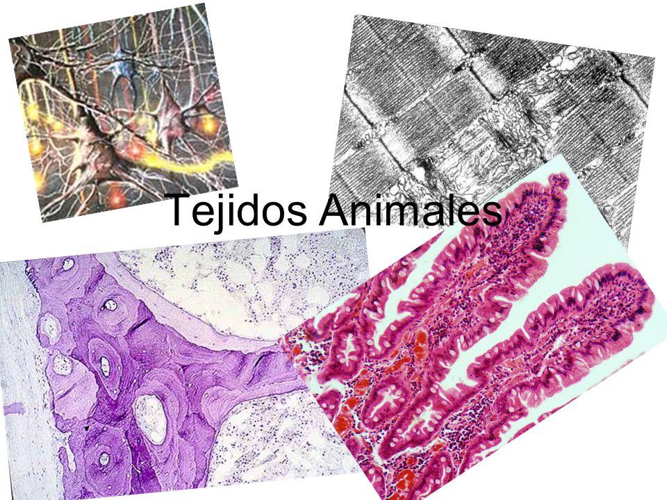 Tejidos animales Los tejidos animales están formados por células y por sustancia intercelular.