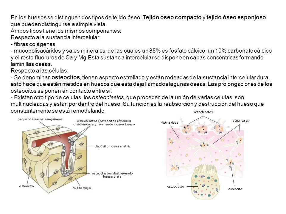 - Tejido óseo compacto: Se encuentra constituido por osteonas o sistemas de Havers formados por laminillas óseas (entre 4 y 20) dispuestas alrededor de un hueco central o canal de Havers donde se alojan vasos sanguíneos y nervios.