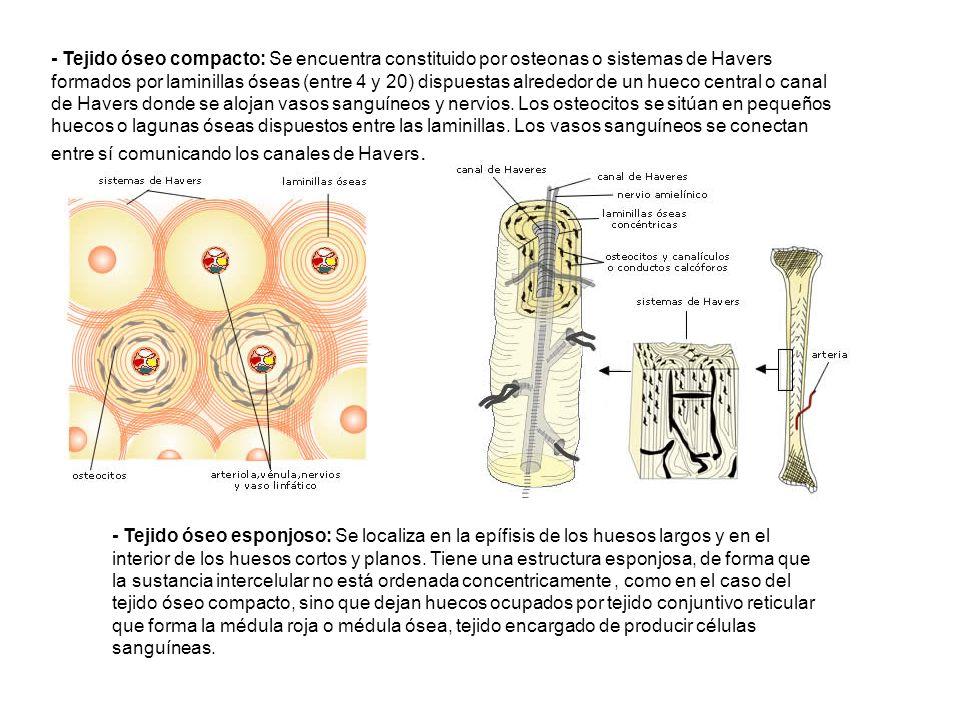 - Tejido óseo compacto: Se encuentra constituido por osteonas o sistemas de Havers formados por laminillas óseas (entre 4 y 20) dispuestas alrededor d