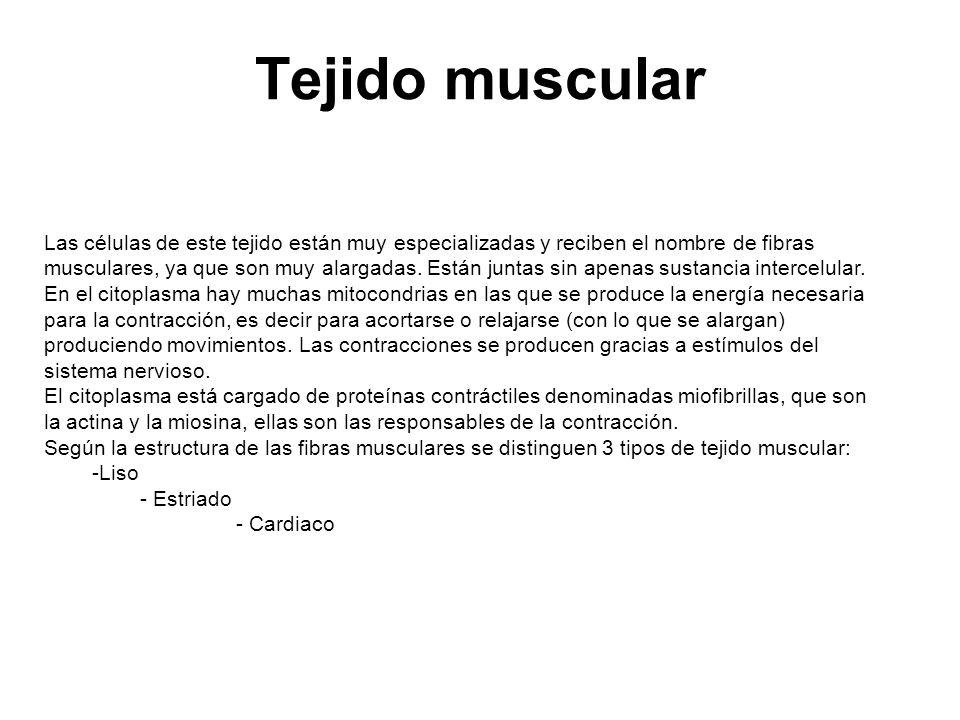 - El tejido muscular liso: Las células son alargadas en forma de huso con un único núcleo en el centro.