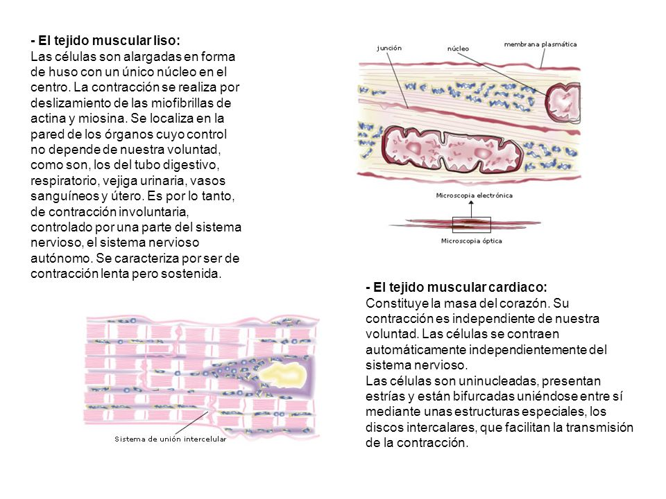 - El tejido muscular liso: Las células son alargadas en forma de huso con un único núcleo en el centro. La contracción se realiza por deslizamiento de