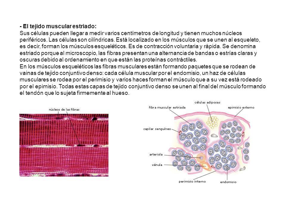 - El tejido muscular estriado: Sus células pueden llegar a medir varios centímetros de longitud y tienen muchos núcleos periféricos. Las células son c