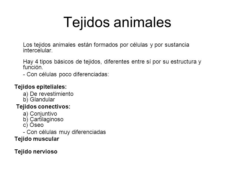 Tejidos animales Los tejidos animales están formados por células y por sustancia intercelular. Hay 4 tipos básicos de tejidos, diferentes entre sí por