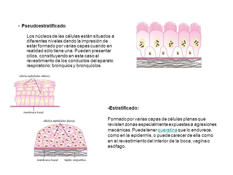 - Pseudoestratificado: Los núcleos de las células están situados a diferentes niveles dando la impresión de estar formado por varias capas cuando en r