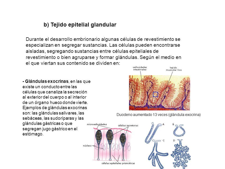 Durante el desarrollo embrionario algunas células de revestimiento se especializan en segregar sustancias. Las células pueden encontrarse aisladas, se