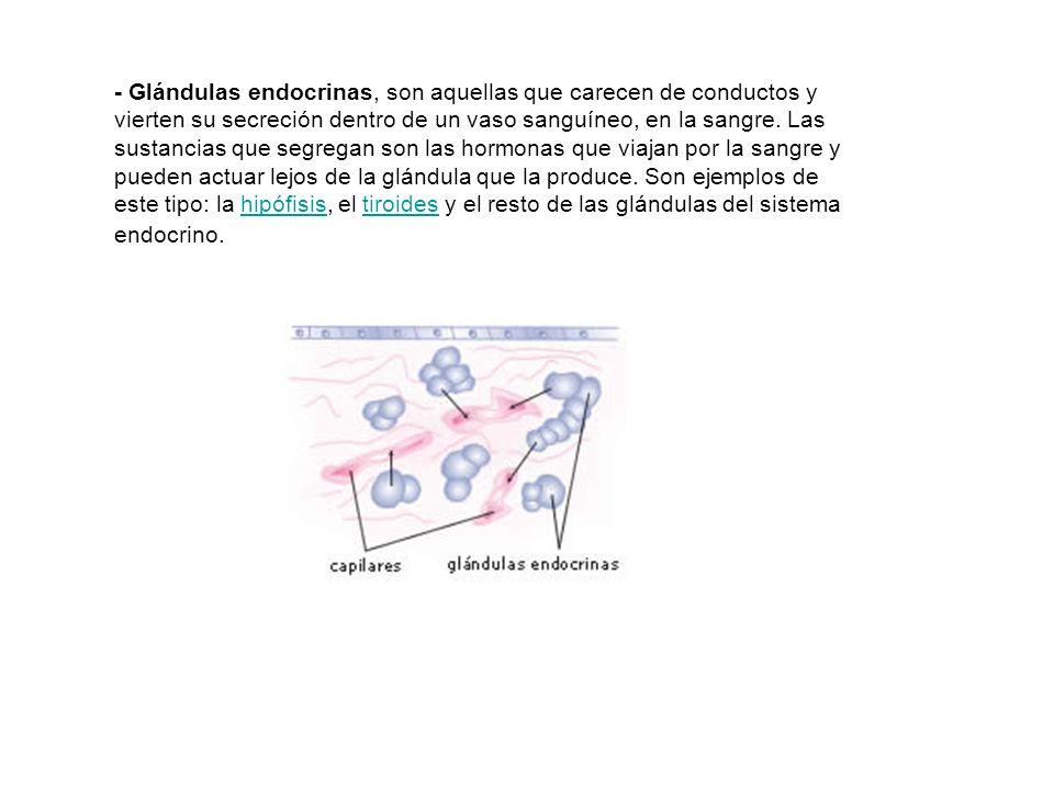 - Glándulas endocrinas, son aquellas que carecen de conductos y vierten su secreción dentro de un vaso sanguíneo, en la sangre. Las sustancias que seg