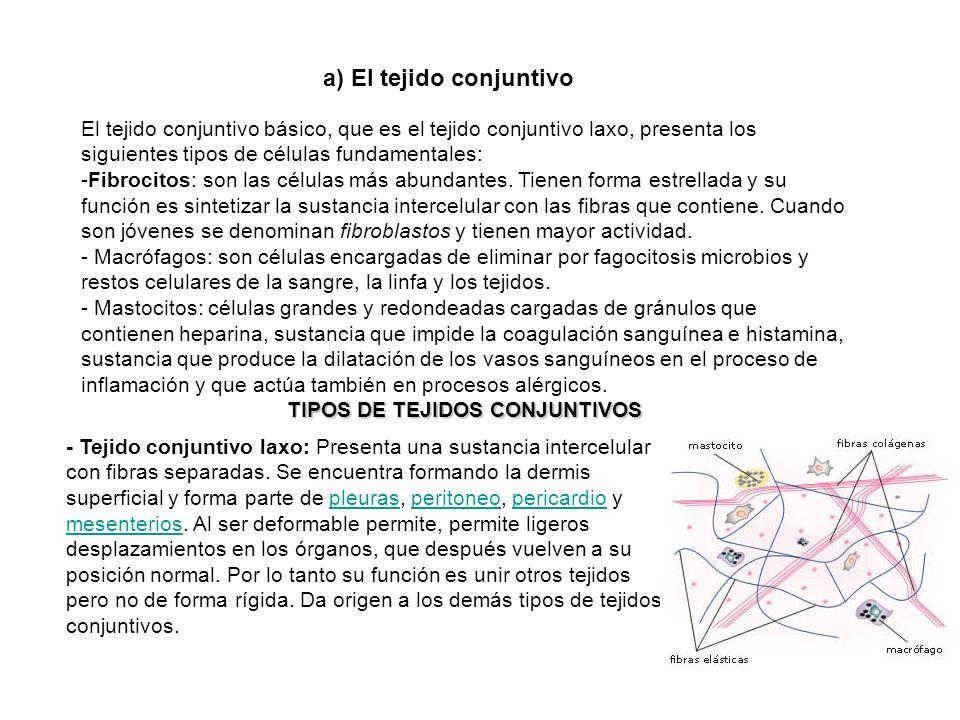a) El tejido conjuntivo El tejido conjuntivo básico, que es el tejido conjuntivo laxo, presenta los siguientes tipos de células fundamentales: -Fibroc