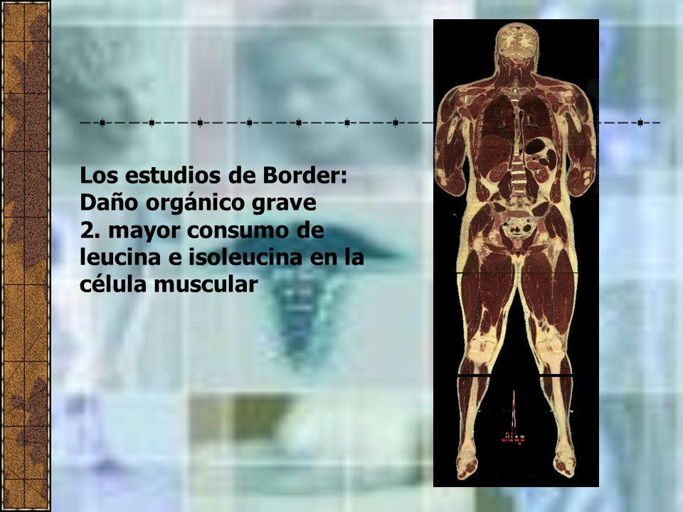 Los estudios de Border: Daño orgánico grave 2. mayor consumo de leucina e isoleucina en la célula muscular